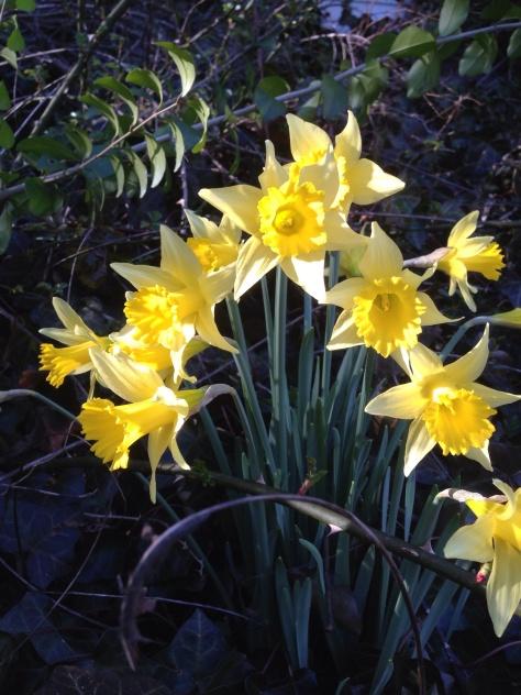 My Spring Daffodils