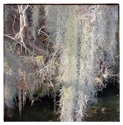 Another view of the Spanish moss. It doesn't hurt the trees that it clings to. It thrives in the humidity at the lake.