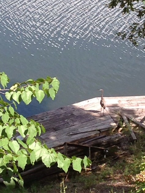 Blue Heron on my Pier